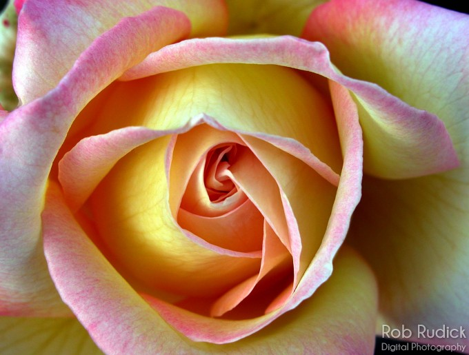 Rob rudick digital photography florals roses portfolio for How to make a multicolored rose